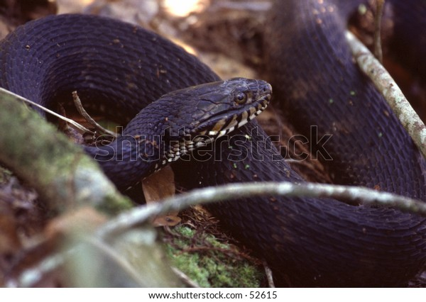 Cottonmouth snake
