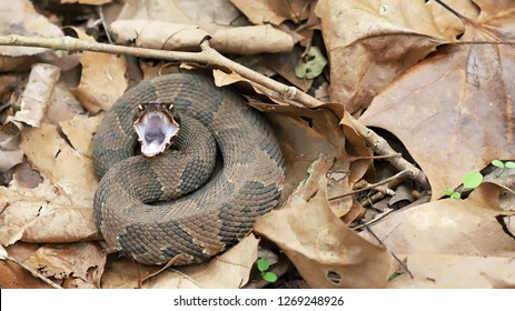 Cottonmouth Images Stock Photos Vectors Shutterstock