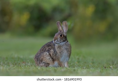 cottontail is beautiful brown rabbit.Cottontail rabbits eat a wide variety of plant foods including grasses, sprouts, leaves, fruits, buds, and bark. During the summer months.