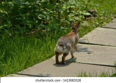 Cottontail rabbit flees from photographer