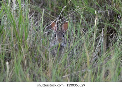 Cottontail rabbit hiding in grass and looking directly at the camera