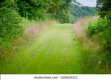 cottontail rabbit on grassy trail Pennsylvania state game lands Heidlesburg PA
