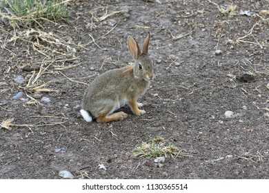 Cottontail rabbit sitting on a path