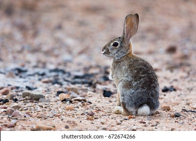 Cottontail Rabbit standing in the desert landscape