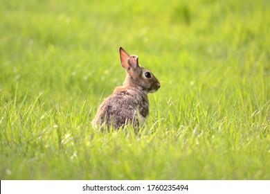 A Cottontail Rabbit taking a little break in between feeding..