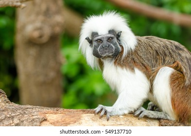 A Cotton-Top Tamarin Monkey