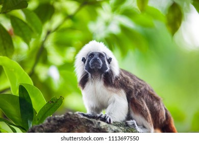 A Cotton-Top Tamarin Monkey on a tree brunch