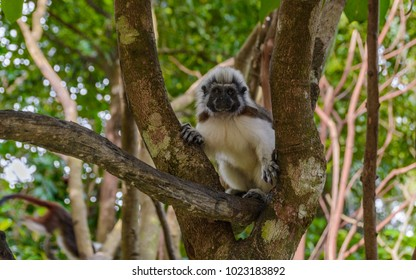 A cotton-top Tamarin Monkey (Saguinus oedipus) on the branch in natural wood and forest background