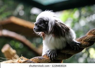 Cotton-top tamarin monkey (Saguinus oedipus)