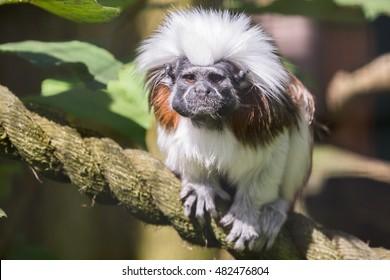 Cotton-top tamarin (Saguinus oedipus)