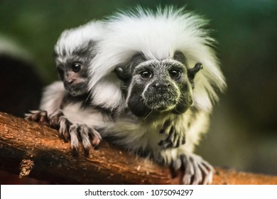 Cotton-top tamarin (Saguinus oedipus) with baby