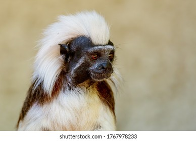 Cotton-top Tamarin - Saguinus oedipus, beautiful small primate from South American tropical forests, Colombia.