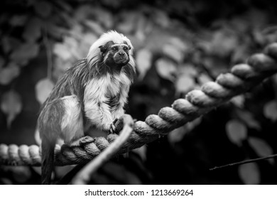 The cotton-top tamarin (Saguinus oedipus) in black and white