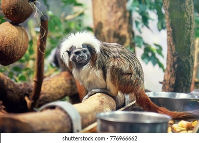 Cotton-top tamarin (Saguinus oedipus), also known as crested tamarin in captivity