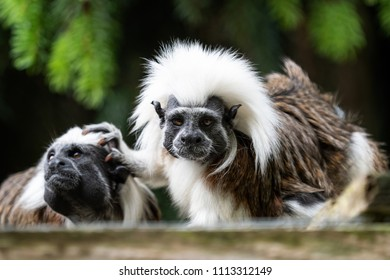 Cotton-top tamarin (Saguinus oedipus) little monkeys