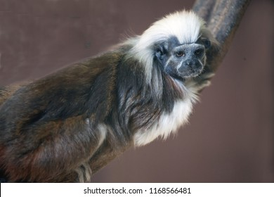 Cotton-top tamarin (Saguinus oedipus) little monkeys that are very agile and active and is fun