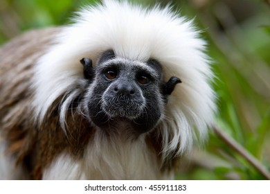Cotton-top tamarin (Saguinus oedipus) little monkeys that are very agile and active and is fun to watch