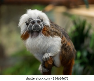 The cotton-top tamarin (Saguinus oedipus) is one of the world's smallest primates. This monkey weighs less than one pound.