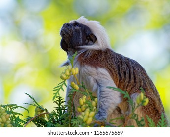 The cotton-top tamarin (Saguinus oedipus) is a small New World monkey weighing less than 0.5 kg