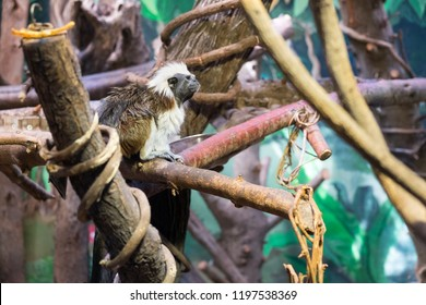 Cotton-top tamarin (Saguinus oedipus) is a small New World monkey at zoo