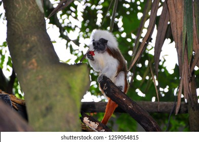 The cotton-top tamarin (Saguinus oedipus), small tropical monkey eating fruit in the rainforest