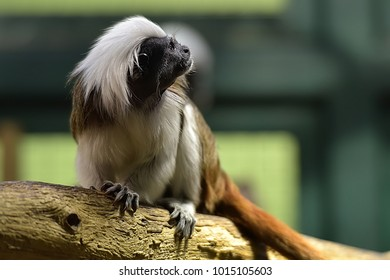 Cotton-top tamarin, Saguinus o.oedipus climbs clumsily in branches