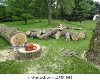 Cottonwood stump and tree trunk and branches on lawn after tree removal