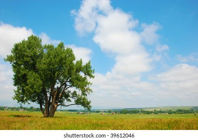 Cottonwood tree stands in a pasture in a rural area