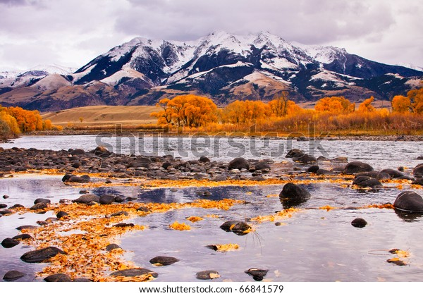 Cottonwood trees in peak fall color along the Yellowstone River at the base of the Absaroka Mountain Range, Montana.