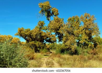 Cottonwoods in autumn. Rio Grande Valley State Park, Albuquerque, New Mexico.