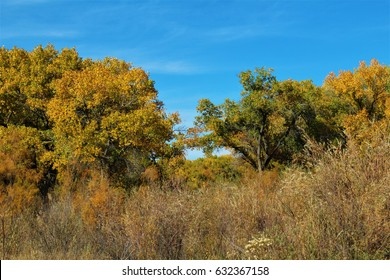 Cottonwoods behind chaparral in autumn. Rio Grande Valley State Park, Albuquerque, New Mexico.
