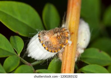 Cottony cushion scale, Icerya purchasi on a stick of a nandina bamboo.
