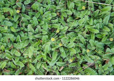 Cotula leptinella potentillina green plant  with yellow flowers background
