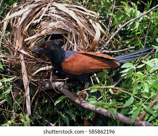 Coucal at nest