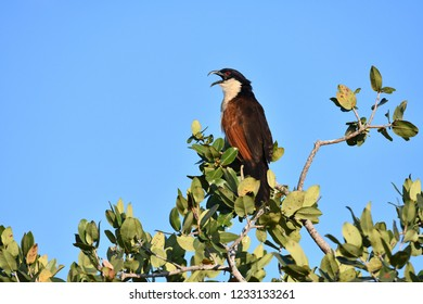 Coucal on tree