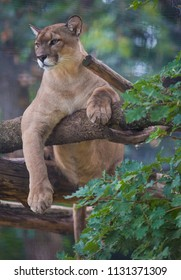 Cougar animal relax on tree