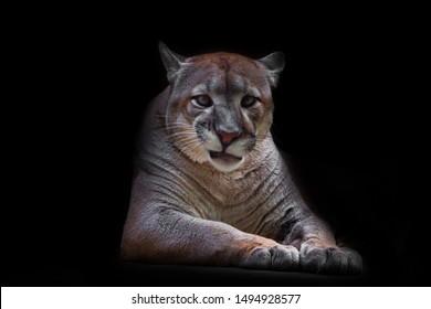 Cougar beautifully and feminine lies on a dark background, a powerful predatory big cat