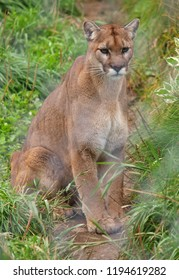 Cougar behind fence, Canada