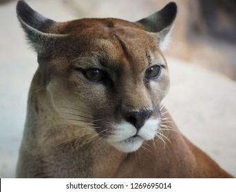 Cougar in Costa Rica