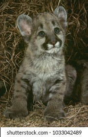 Cougar cub  (Felis concolor), Colorado