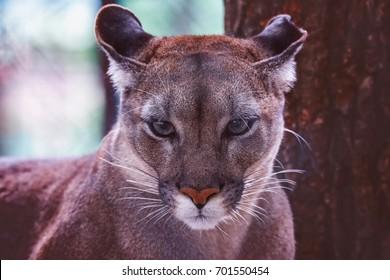 Cougar (Felis Concolor) american puma detail portrait