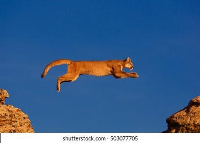 Cougar jump