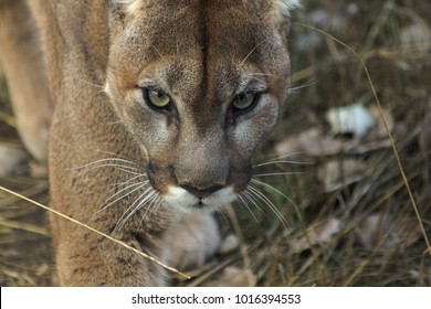 cougar looks you in the eye