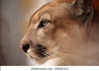 The cougar or mountain lion
