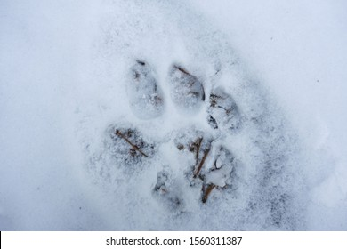 Cougar or Mountain Lion (Felis Concolor) Isolated Paw Track in Snow on a Hiking trail in Canadian Rocky Mountains