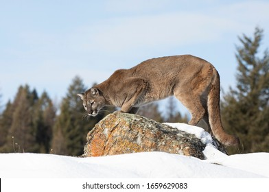 Cougar or Mountain lion (Puma concolor) walking on top of rocky mountain in the winter snow in Montana, USA