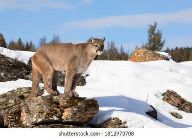 Cougar or Mountain lion (Puma concolor) walking through the mountains in the winter snow.