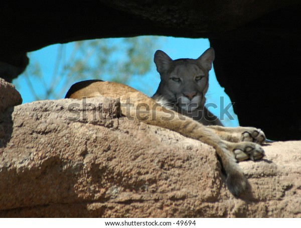 Cougar on a rock