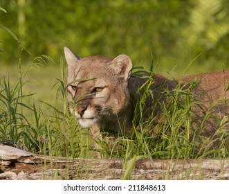 Cougar Peeking Through the Grass