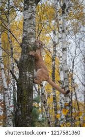 Cougar (Puma concolor) Climbs Up Tree - captive animal